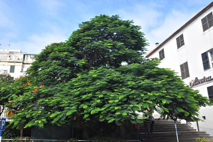 acacia-rubia-delonix-regia-1009394732-16