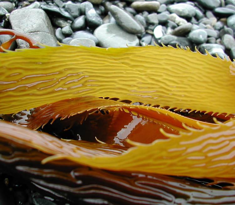Algues par yvan richard sur l 39 internaute for Algues rouges piscine
