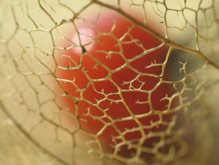 Amour en cage par anne jeremy sur l 39 internaute - Fruit cage d amour ...