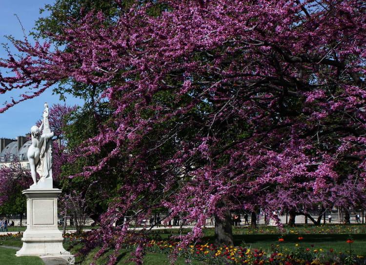 Arbre de jud e du jardin des tuileries par fran oise - Arbres de jardin ...