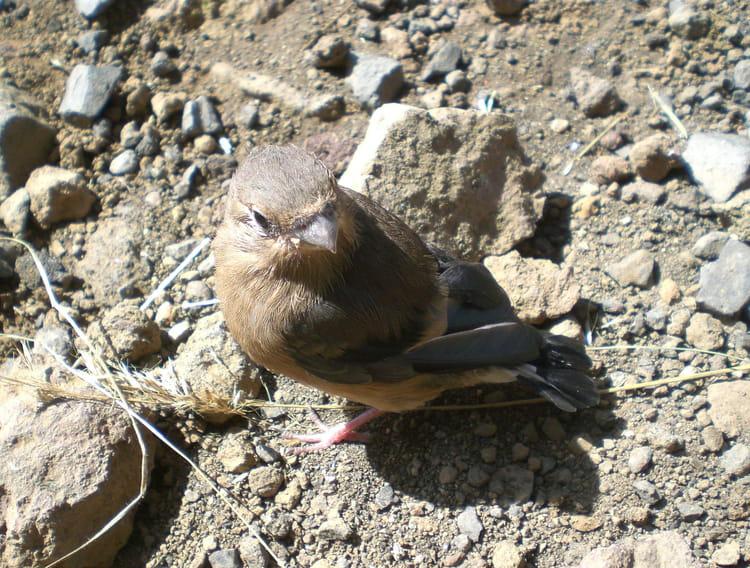 B b pinson tomb du nid par g raldine deveau sur l 39 internaute - Oisillon tombe du nid ...