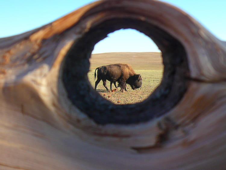 E Bison Fute Bison....futé par...
