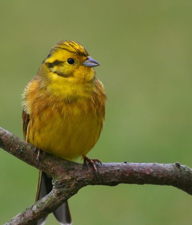 Bruant jaune par marjolaine quatremare sur l 39 internaute for Oiseau jaune france
