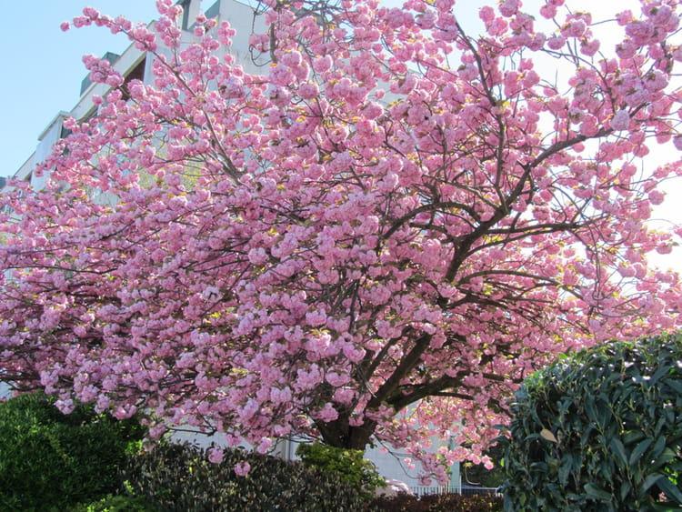 Cerisier du japon arbre rose par rita vogels sur l 39 internaute - Arbre rose japon ...