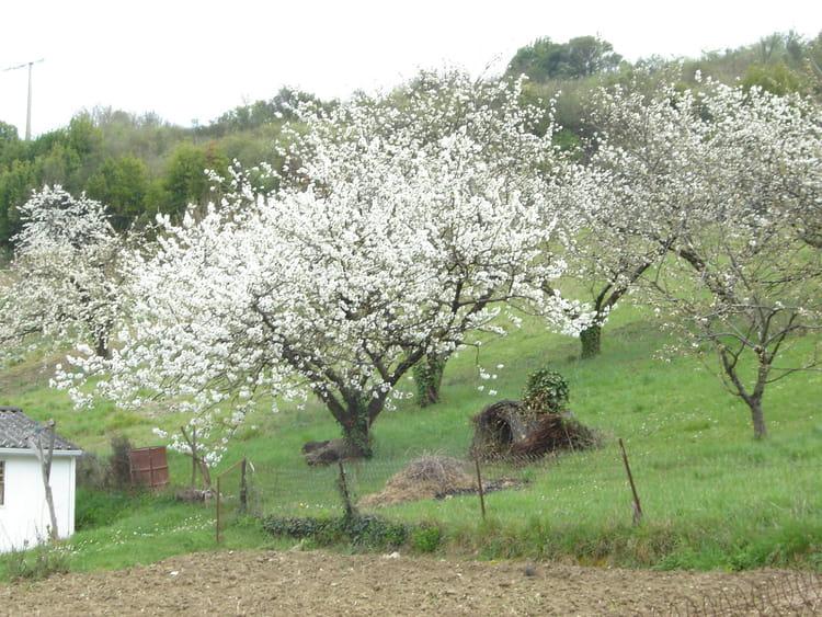 cerisiers en fleurs par robert brouat sur l 39 internaute. Black Bedroom Furniture Sets. Home Design Ideas