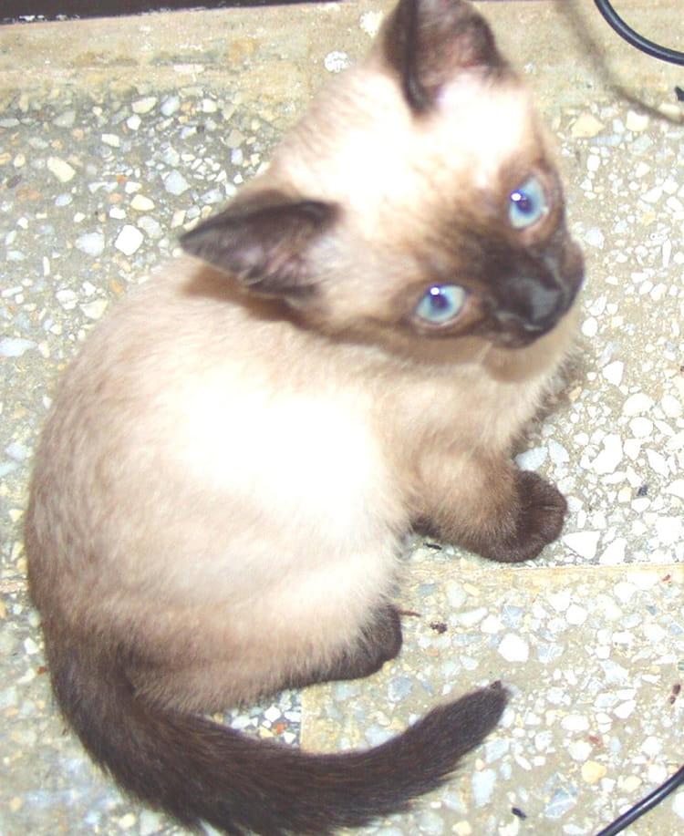 Chat siamois par mamo chenit sur l 39 internaute - Salon de chat algerie ...