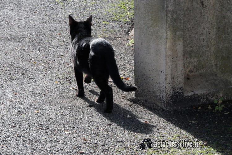 Chasseurs de chatte noire