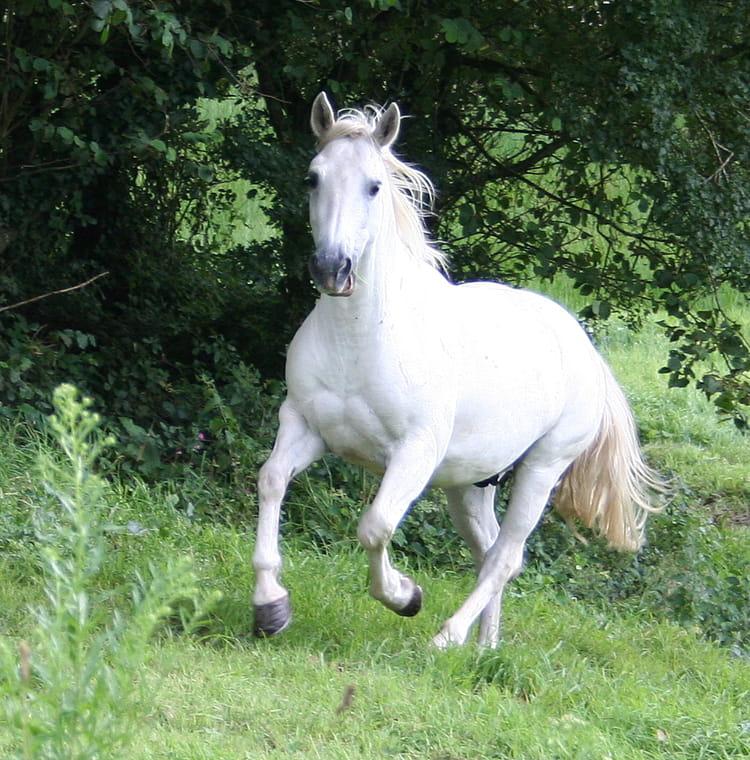 image cheval blanc