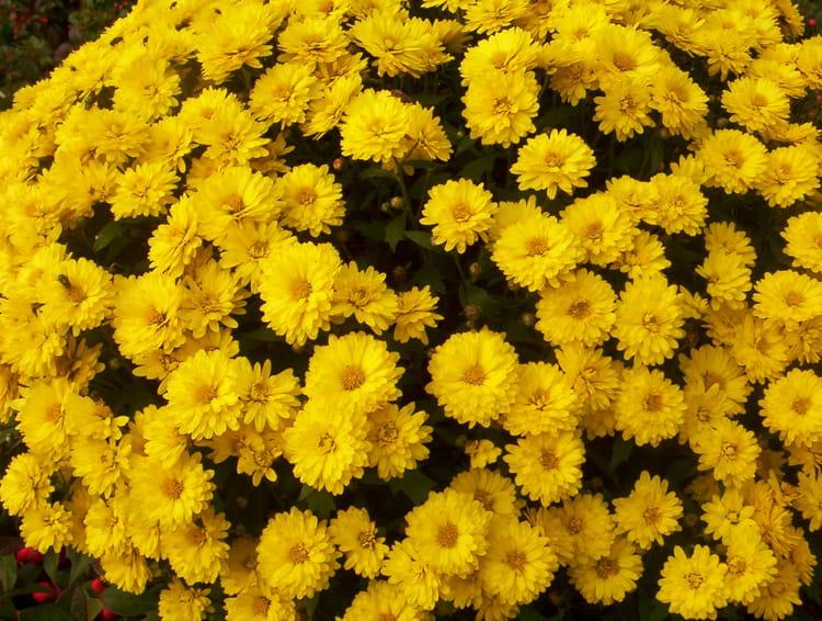 Chrysanth me par jeanne fery sur l 39 internaute - Chrysantheme entretien ...