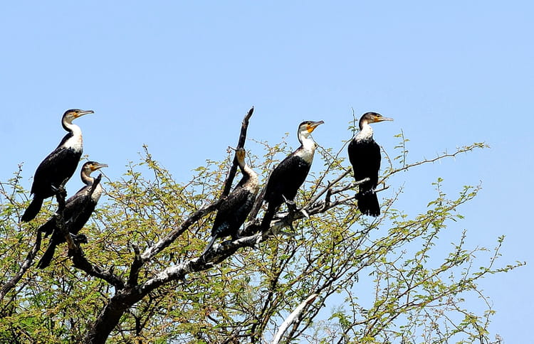 cormorans dans le parc du djoudj par alice aubert sur l 39 internaute. Black Bedroom Furniture Sets. Home Design Ideas