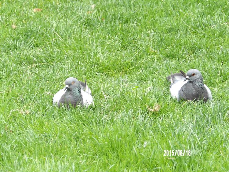 Couple de pigeons par isabelle taras sur l 39 internaute - Se debarrasser des pigeons ...