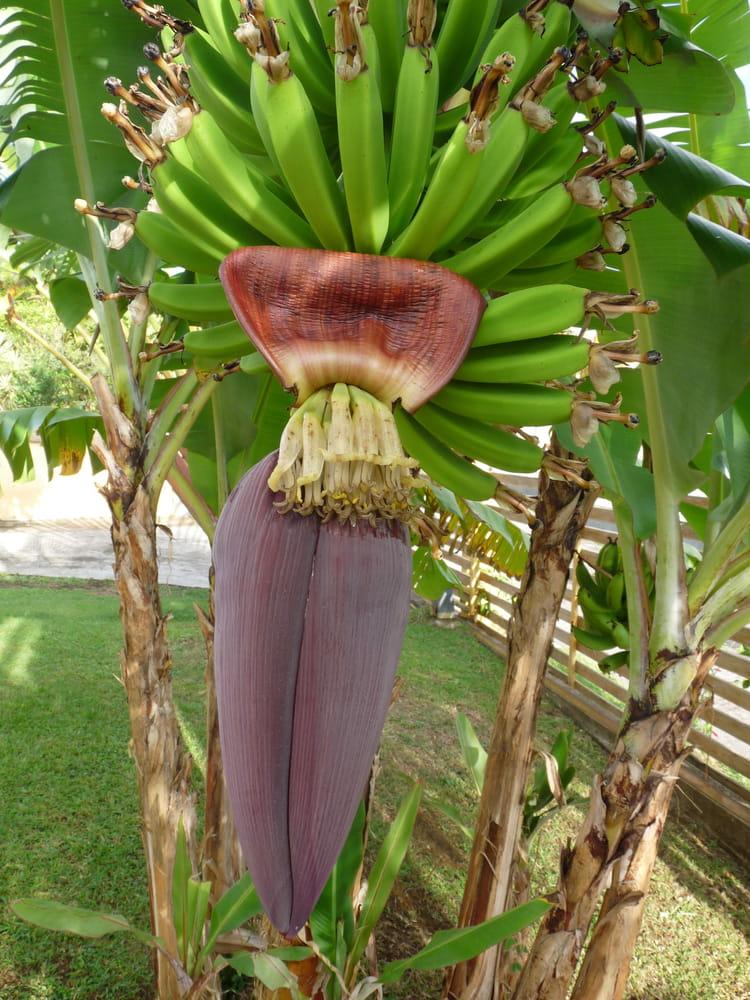 eclosion de la fleur de bananier par lucien bensoussan sur l 39 internaute. Black Bedroom Furniture Sets. Home Design Ideas