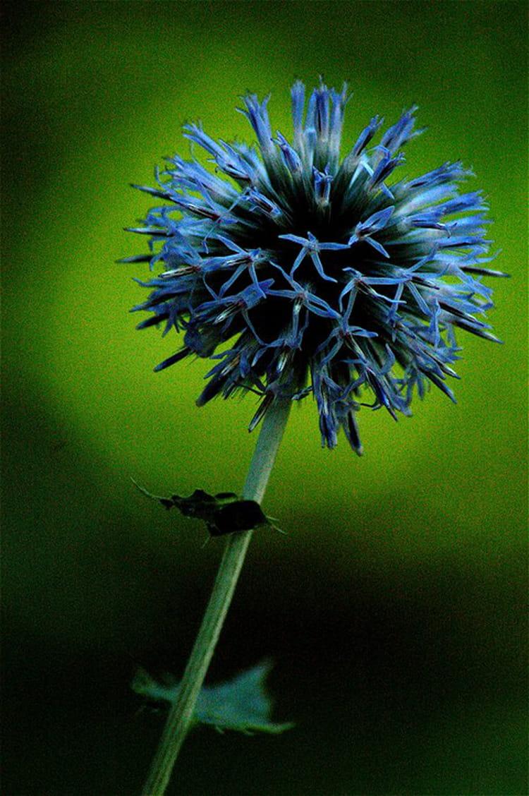 fleur bleue par jean matte sur l 39 internaute. Black Bedroom Furniture Sets. Home Design Ideas