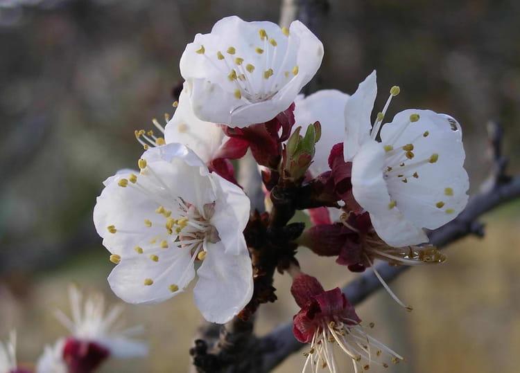 fleur de cerisier par jean charles tirinnanzi sur l 39 internaute. Black Bedroom Furniture Sets. Home Design Ideas