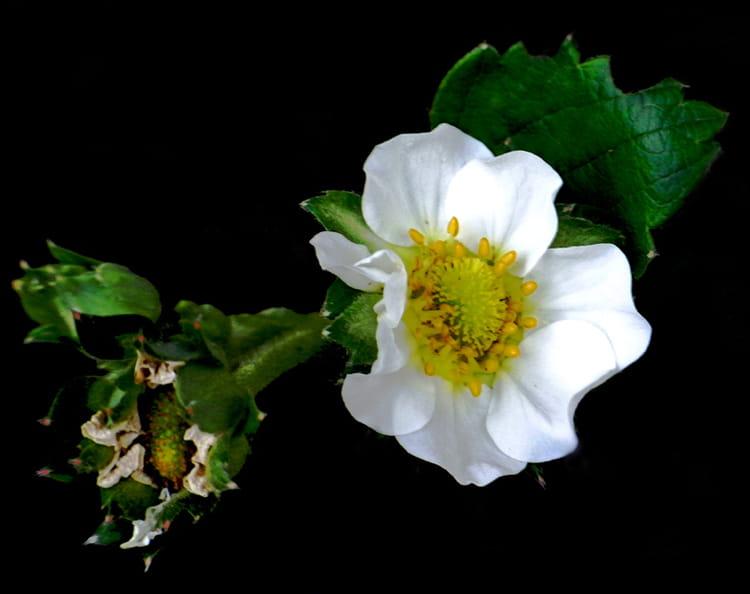 Fleur De Fraisier Par Huguette Roman Sur L Internaute