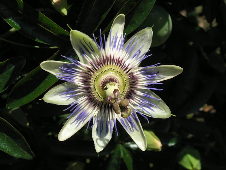 Fleur de la Passion par Lucien BERMUDES sur L'Internaute