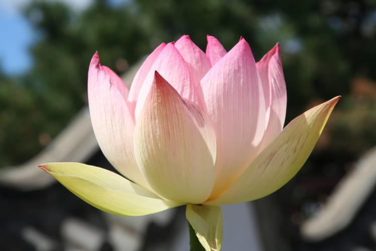 Fleur De Lotus Par Catherine Jacobs Sur L Internaute