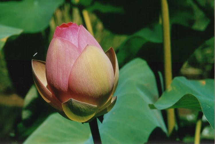 Fleur De Lotus En Bouton Par Gerard Rabasse Sur L Internaute