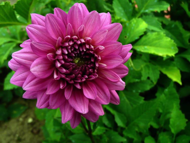fleur de mon jardin par josiane ferret sur l 39 internaute. Black Bedroom Furniture Sets. Home Design Ideas