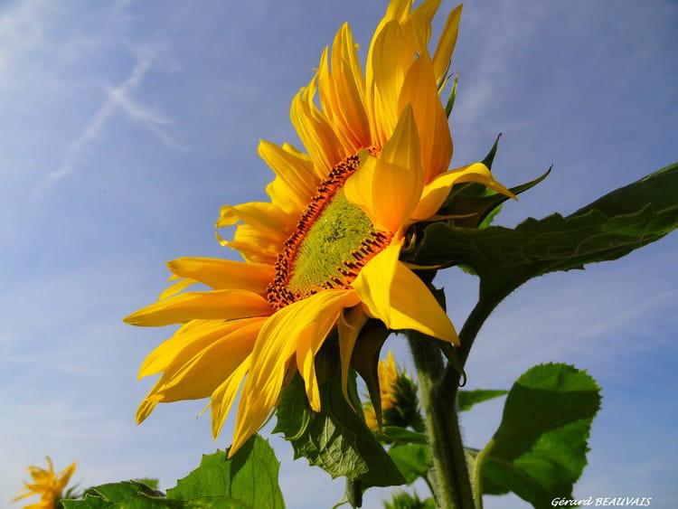 fleur de tournesol vers le soleil par gerard beauvais sur l 39 internaute. Black Bedroom Furniture Sets. Home Design Ideas