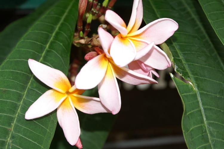 les-fleurs-vanilles