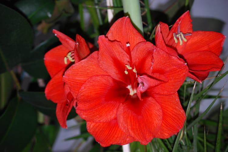 Fleur d 39 amaryllis par genevieve lapoux sur l 39 internaute for Les amaryllis fleurs