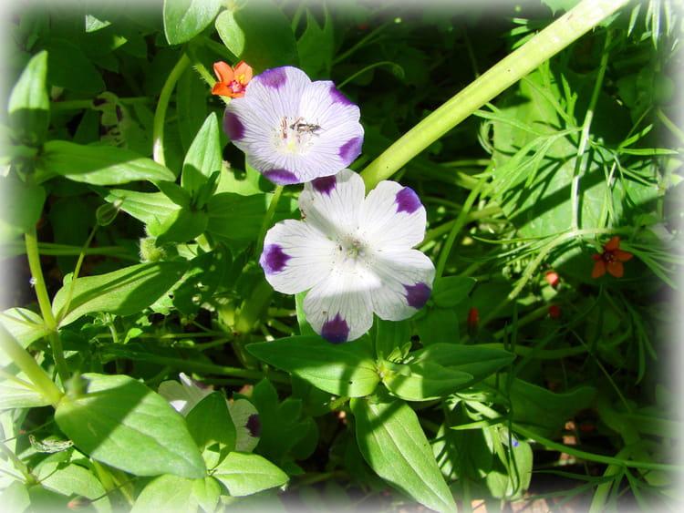 Fleurs de jach re par robert buatois sur l 39 internaute - Fleur de jachere ...