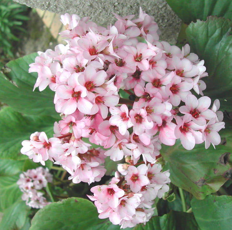 Par rita vogels sur l 39 internaute - Plante a fleurs roses ...