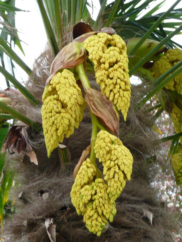 Fruits ou fleur du palmier par sur l 39 internaute for La maison du palmier