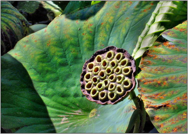 graines du lotus royal par jean pierre tolomio sur l 39 internaute. Black Bedroom Furniture Sets. Home Design Ideas