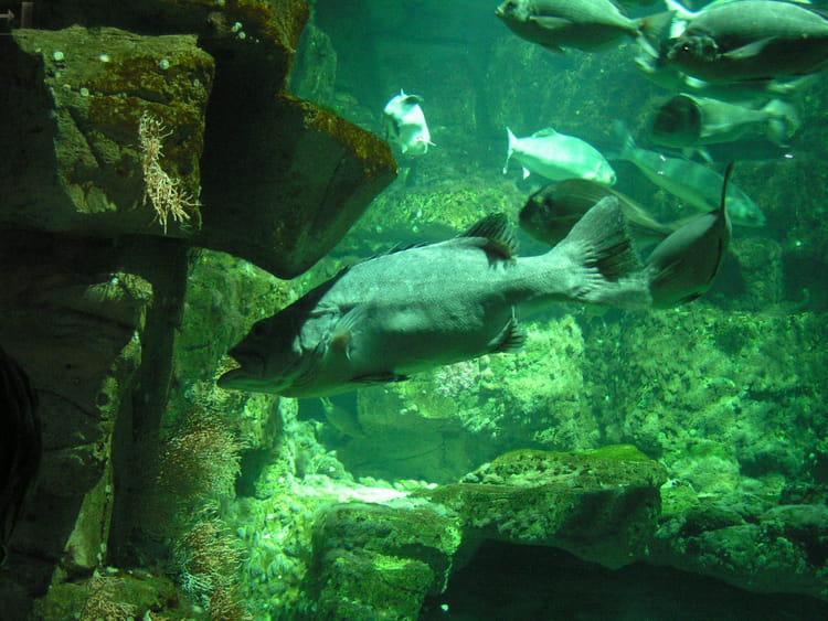 Gros poisson par sylvain pouce sur l 39 internaute for Gros poisson aquarium