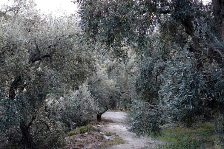 Jardin d 39 oliviers par andr marie nef sur l 39 internaute for Jardin olivier