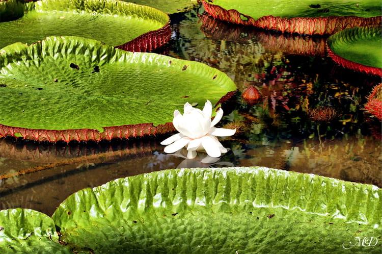 Jardin de pamplemousse fleur de lotus par mathieu for Jardin pamplemousse