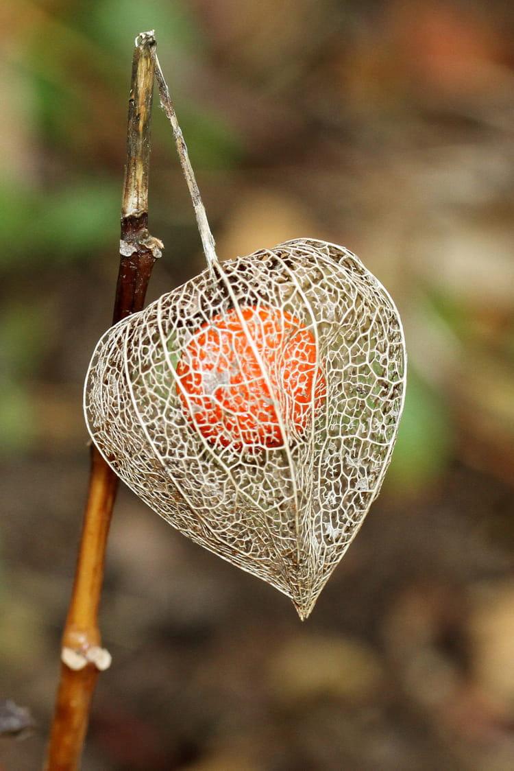 Voil pourquoi on l 39 appelle l 39 amour en cage par bernard choux sur l 39 internaute - Fruit cage d amour ...
