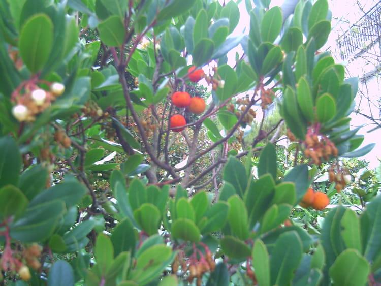 L 39 arbousier par genevieve lapoux sur l 39 internaute - Fruit de l arbousier ...