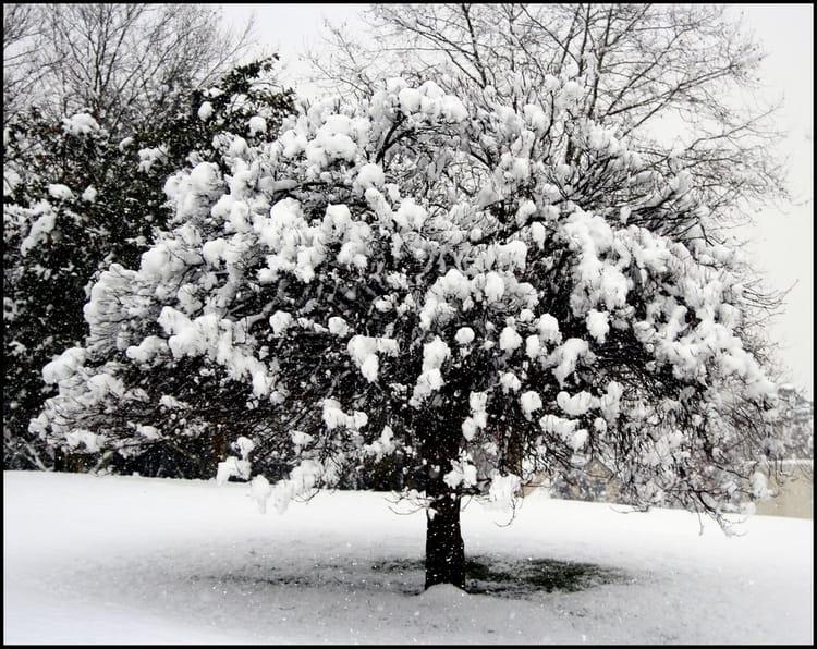 L 39 arbre aux boules de neige j f par josiane ferret sur l - Arbre boule de neige ...