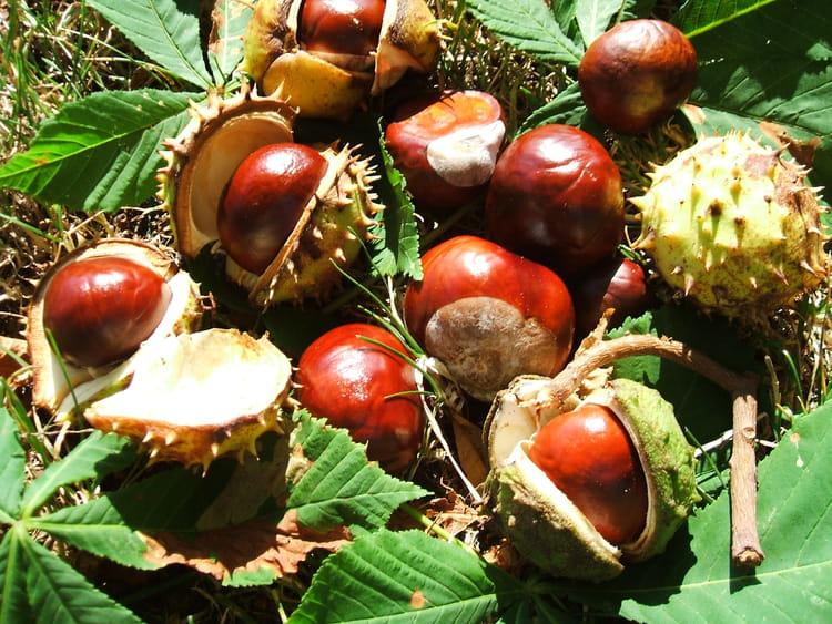 Le marron par jeanne fery sur l 39 internaute - Arbre murier fruit comestible ...