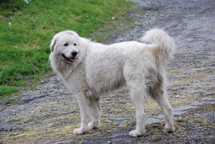 Le Patou, chien des Pyrénées par Genevieve LAPOUX sur L