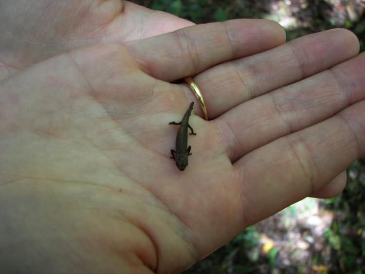 Le plus petit caméléon du monde