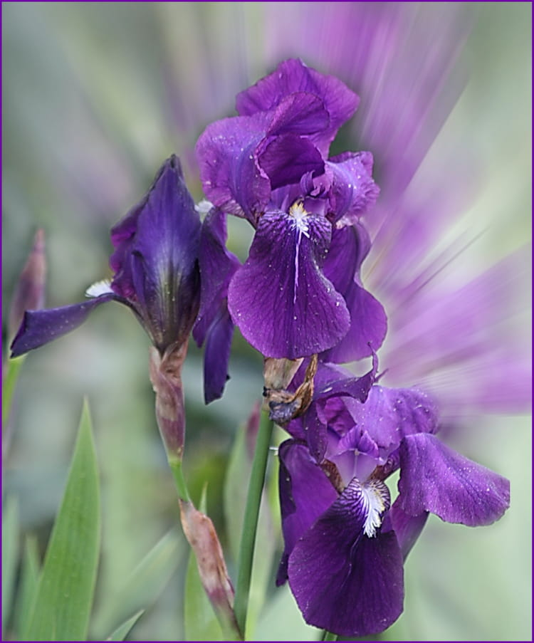 Les iris du jardin par simone dominati sur l 39 internaute for Entretien iris jardin