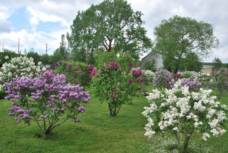 les lilas en fleurs. par andré lavoie sur l'internaute