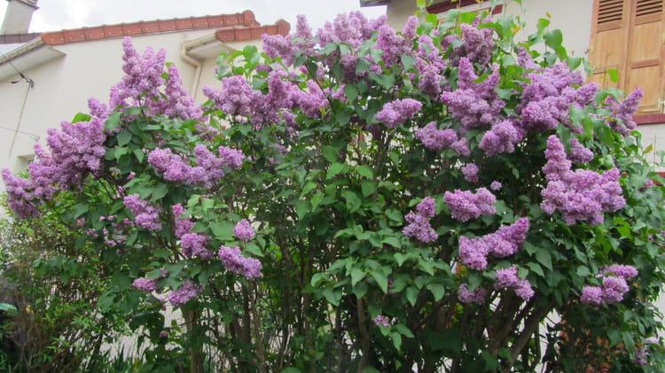 Lilas arbre en fleurs mauve par rita vogels sur l 39 internaute - Arbre fleur mauve printemps ...