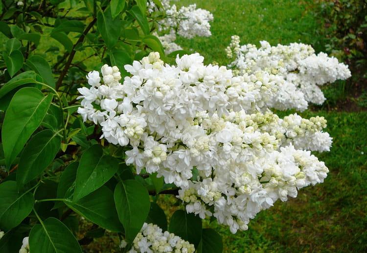 lilas blanc double de mon jardin par jacqueline dubois sur l 39 internaute. Black Bedroom Furniture Sets. Home Design Ideas