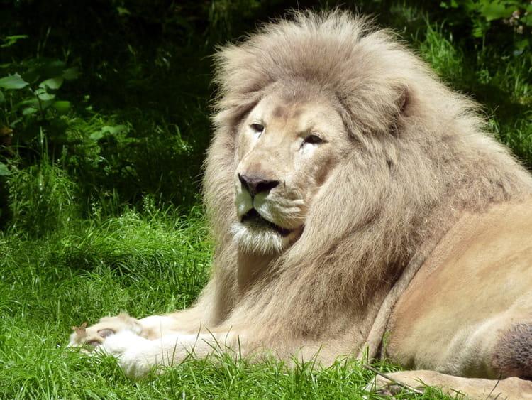 le plus beau lion blanc du monde. Black Bedroom Furniture Sets. Home Design Ideas