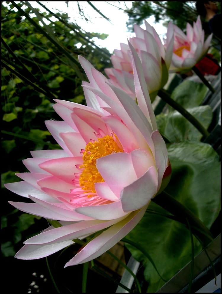 Lotus fleur sacr e du bouddhisme par yvette gogue sur l - Fleur de lotus bouddhisme ...