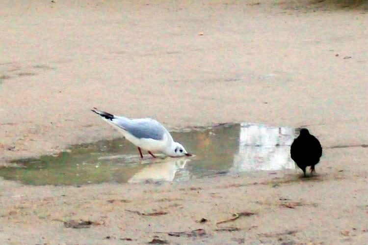 Mouette et pigeon par cypora herszhorn sur l 39 internaute - Se debarrasser des pigeons ...