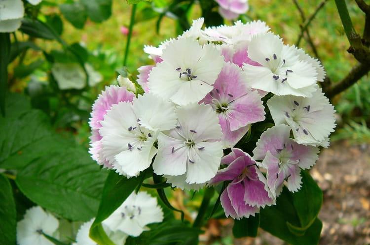 Oeillet de po te blanc et rose par jacqueline dubois sur l - Oeillet du poete ...