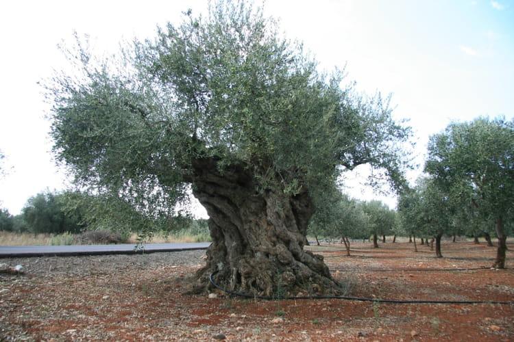 Olivier centenaire et par j fran ois dolbeau sur l 39 internaute - Acheter olivier centenaire ...