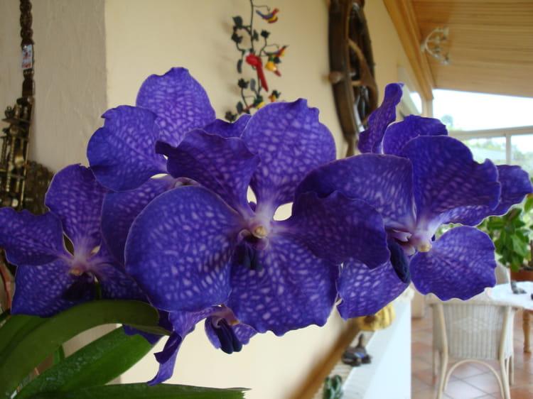 orchidee vanda strasbourg