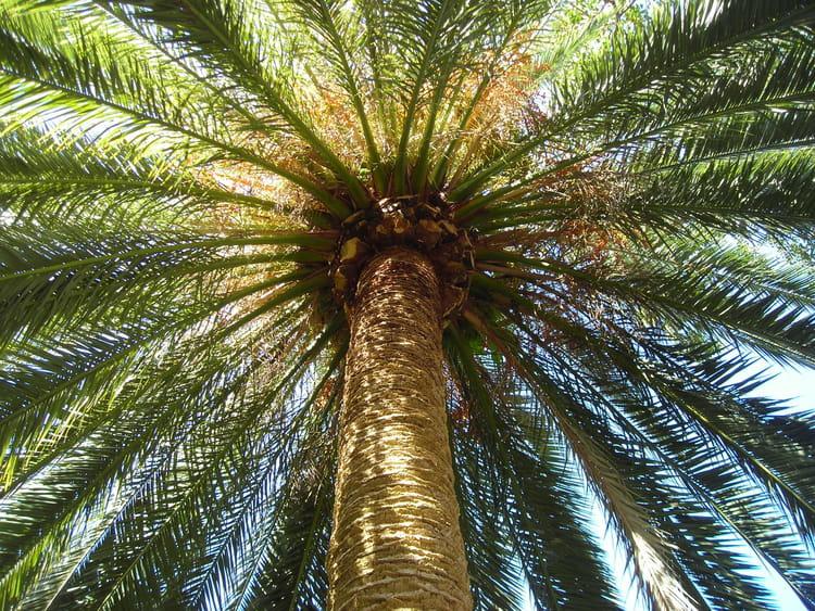 palmier l'internaute
